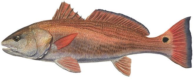 Изображение рыбы Горбыль красный