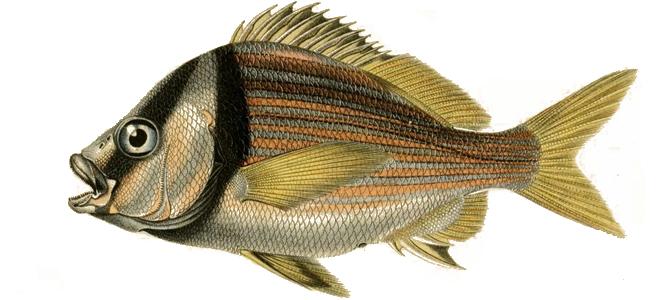 Изображение рыбы Горбыль орлиный