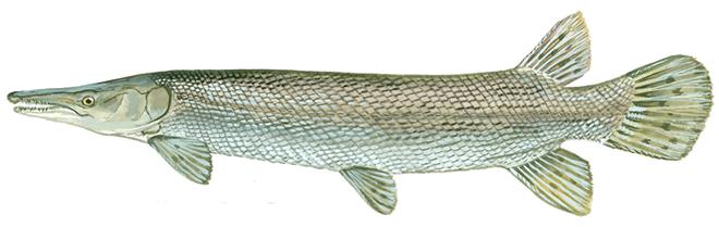 Изображение рыбы Панцирник миссисипский