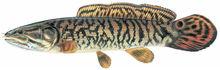 Изображение рыбы Амия