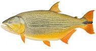 Изображение рыбы Дорадо золотой