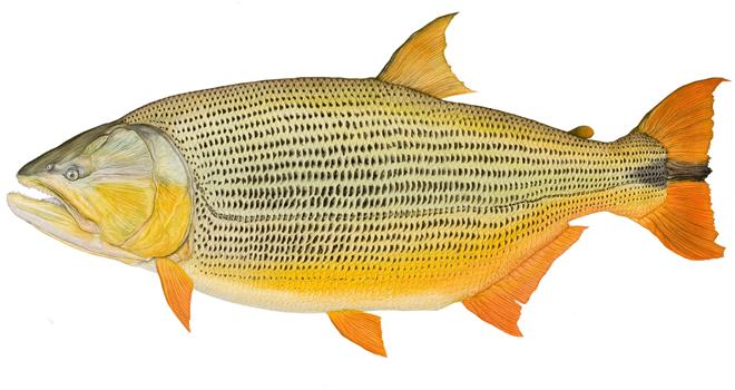 материалов чем питается рыба дорадо посевной календарь