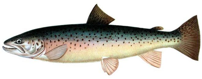 Изображение рыбы Кумжа