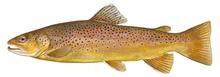 Изображение рыбы Форель ручьевая