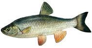 Изображение рыбы Голавль