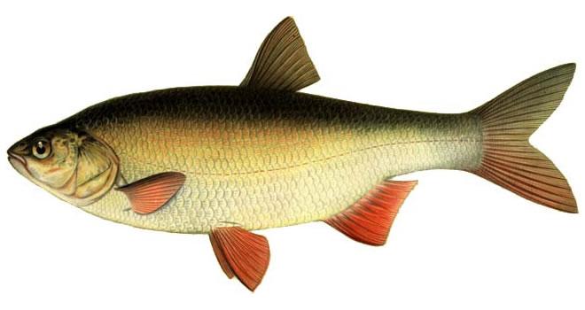 Изображение рыбы Язь