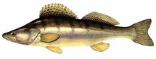 Изображение рыбы Судак