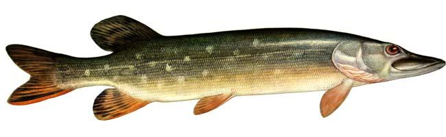 Изображение рыбы Щука обыкновенная