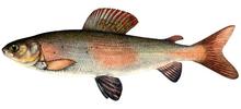 Изображение рыбы Хариус байкальский
