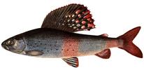 Изображение рыбы Хариус сибирский