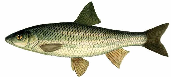 Изображение рыбы Елец