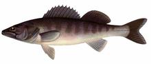Изображение рыбы судак морской