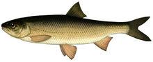 Изображение рыбы Вырезуб