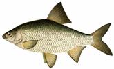 Изображение рыбы Тарань