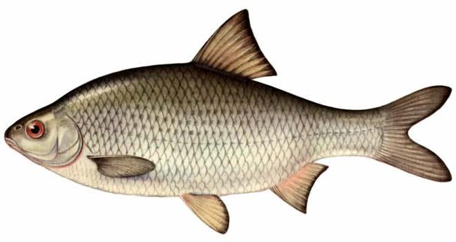 Изображение рыбы Вобла