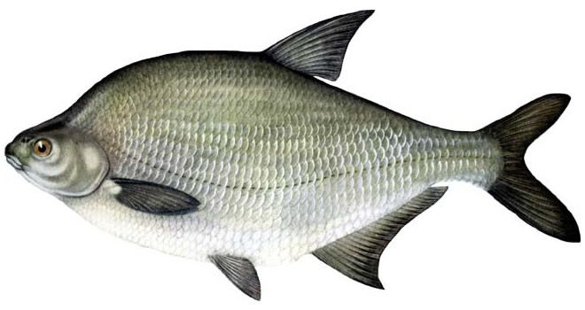 Рыба лещ изображение