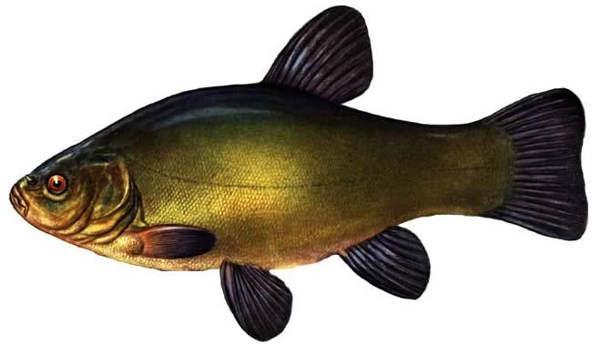 Рыба Линь изображение
