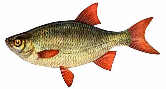 Рыба Красноперка изображение