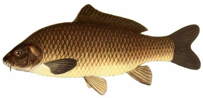 Рыба Сазан изображение