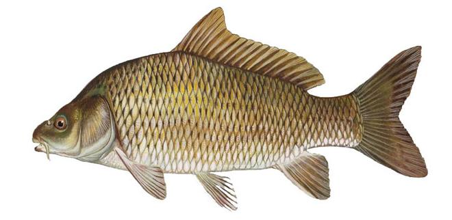Изображение рыбы Карп