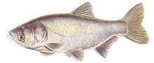 Изображение рыбы Толстолоб
