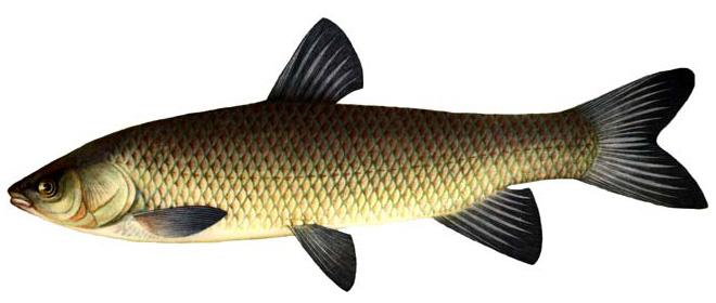 Изображение рыбы Амур белый