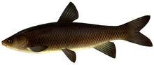 Изображение рыбы Амур черный