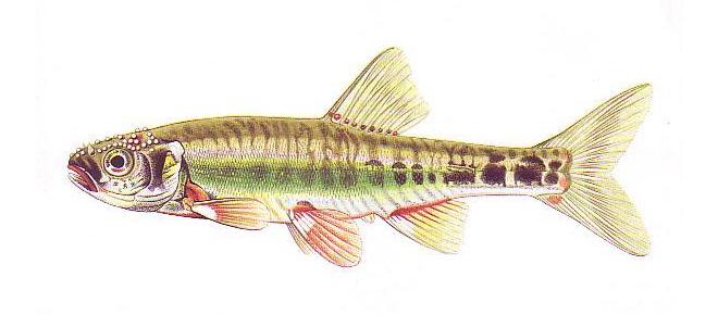 Изображение рыбы Гольян