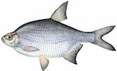 Изображение рыбы Густера