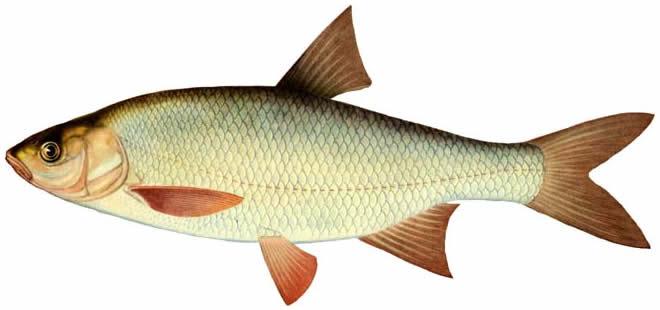 Изображение рыбы Язь амурский
