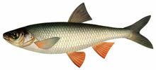 Изображение рыбы Чебак