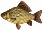 Изображение рыбы Карась золотой