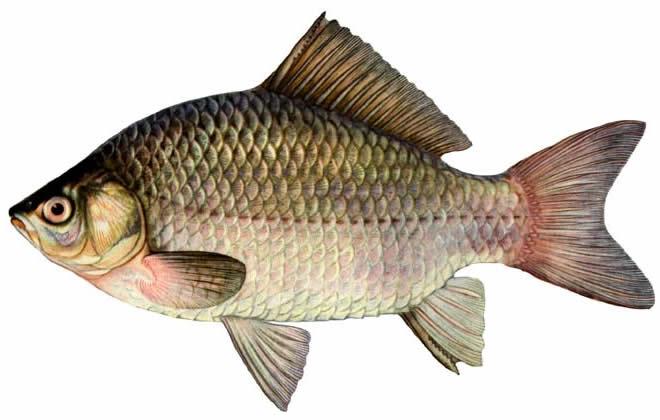Изображение рыбы Карась серебряный