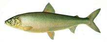 Изображение рыбы Сиг