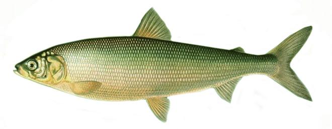 Рыба Сиг изображение
