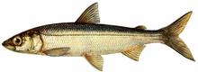 Изображение рыбы Ряпушка