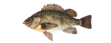 Изображение рыбы Морской окунь невооруженный