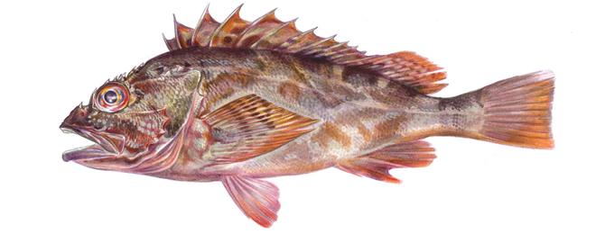Изображение рыбы Морской окунь мраморный