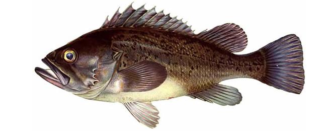 Изображение рыбы Морской окунь темный