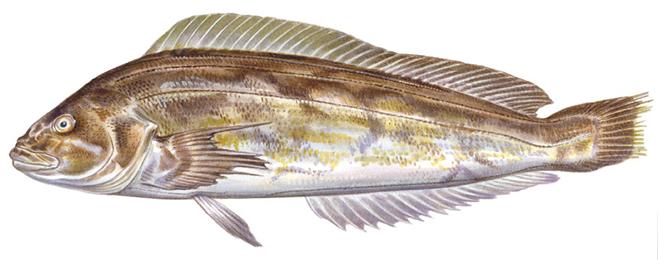 Изображение рыбы Терпуг японский