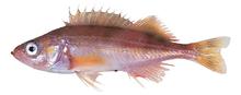 Изображение рыбы Морской окунь красный