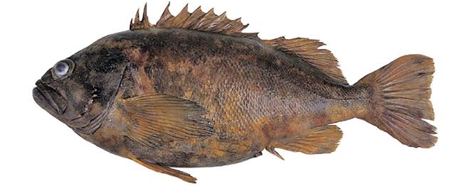 Изображение рыбы Морской окунь голубой