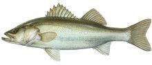 Изображение рыбы Лаврак японский