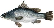 Изображение рыбы Окунь нильский