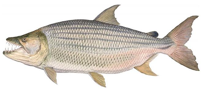 Изображение рыбы Тигровая рыба африканская