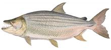 Изображение рыбы Тигровая рыба африканская большая
