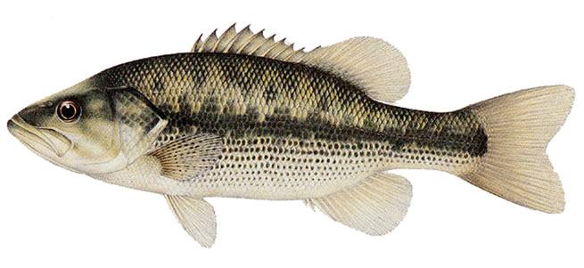 Изображение рыбы Басс пятнистый