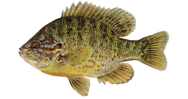 Изображение рыбы Окунь солнечный пёстрый