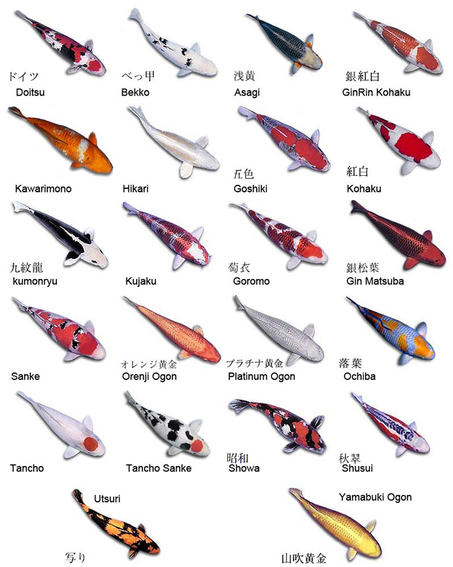 Изображение рыбы Карп японский кои
