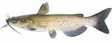 Изображение рыбы Сомик канальный